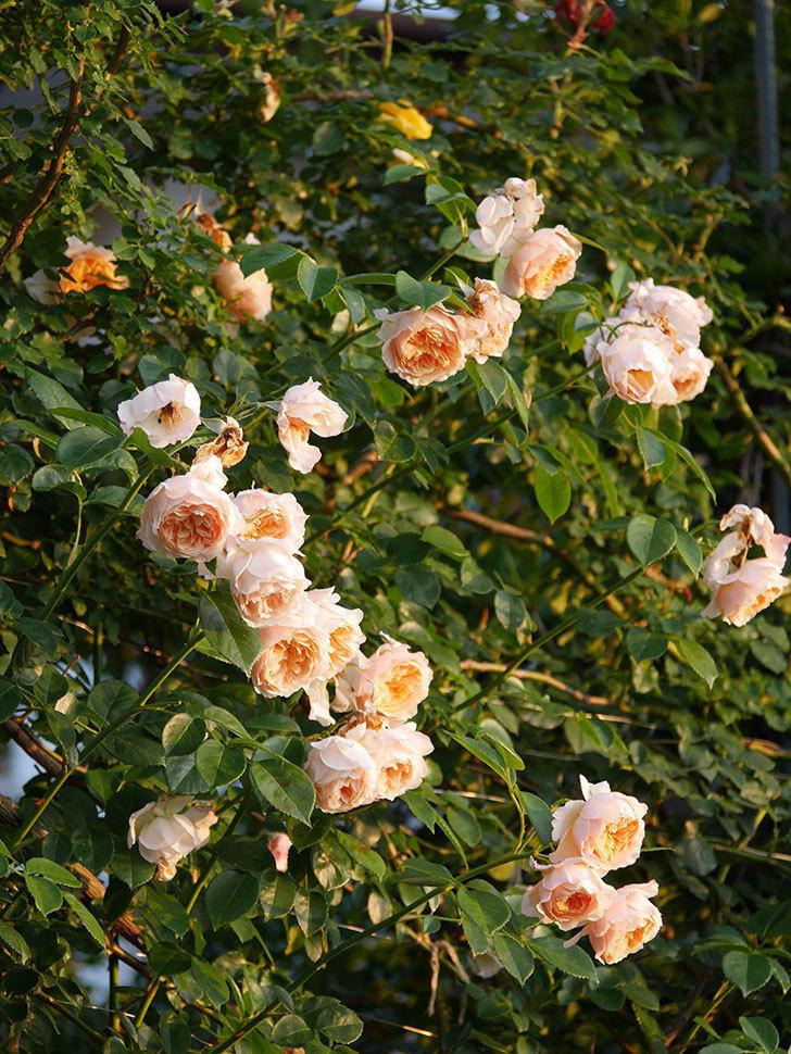 ジンジャー・シラバブ(Ginger Syllabub)の花が房で咲いた。ツルバラ。2020年-008.jpg