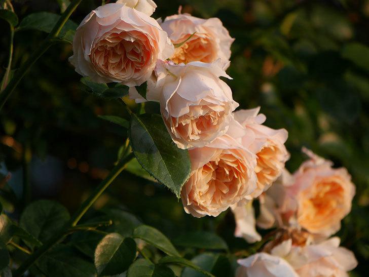 ジンジャー・シラバブ(Ginger Syllabub)の花が房で咲いた。ツルバラ。2020年-009.jpg