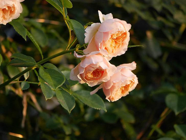ジンジャー・シラバブ(Ginger Syllabub)の花が房で咲いた。ツルバラ。2020年-010.jpg