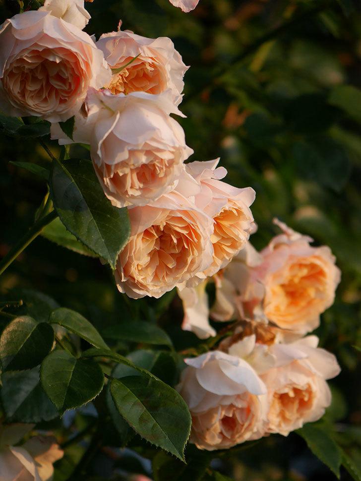 ジンジャー・シラバブ(Ginger Syllabub)の花が房で咲いた。ツルバラ。2020年-011.jpg