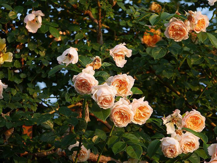 ジンジャー・シラバブ(Ginger Syllabub)の花が房で咲いた。ツルバラ。2020年-012.jpg