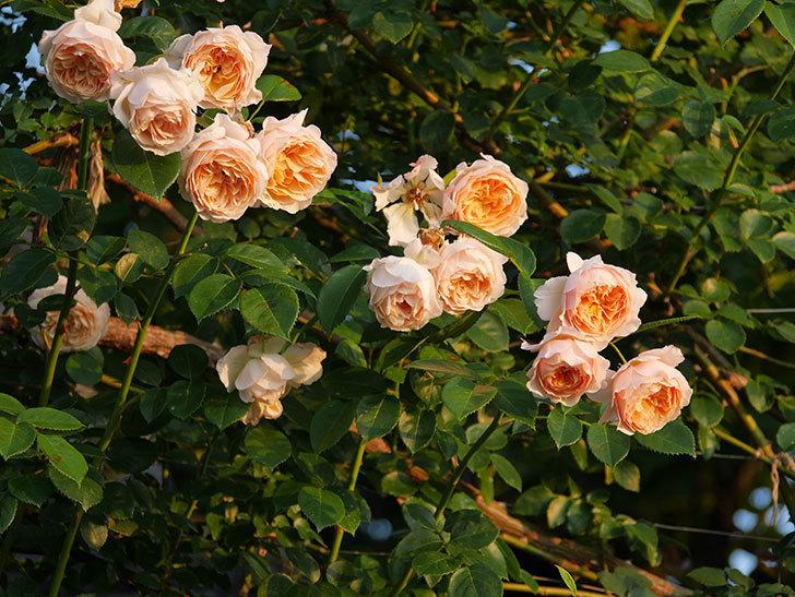 ジンジャー・シラバブ(Ginger Syllabub)の花が房で咲いた。ツルバラ。2020年-013.jpg