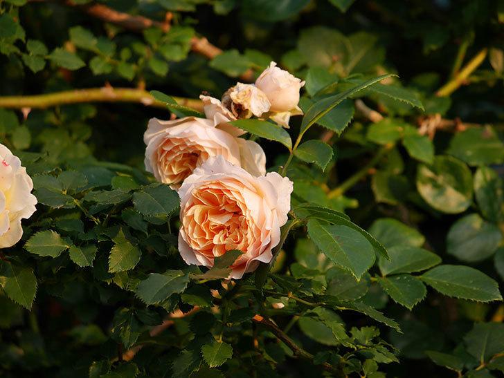 ジンジャー・シラバブ(Ginger Syllabub)の花が房で咲いた。ツルバラ。2020年-014.jpg