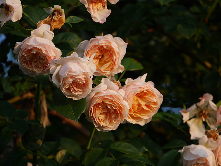 ジンジャー・シラバブ(Ginger Syllabub)の花が房で咲いた。ツルバラ。2020年-015.jpg