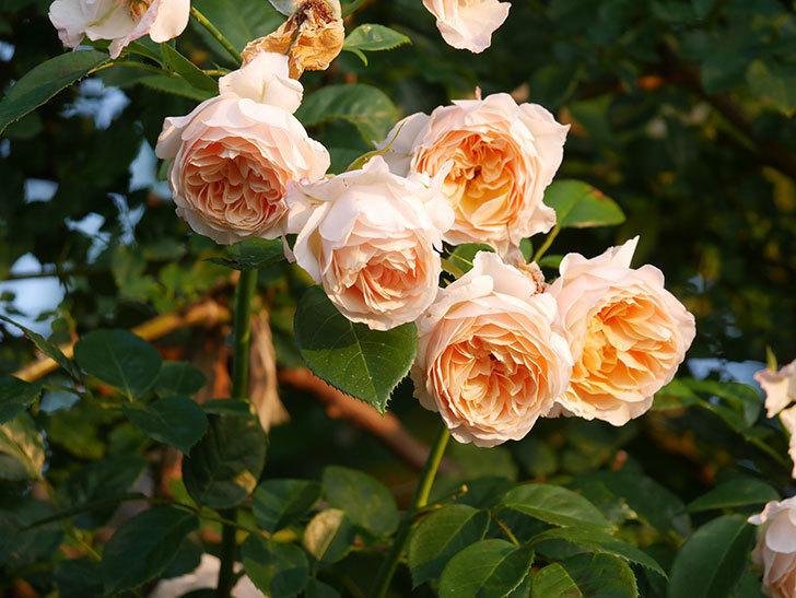 ジンジャー・シラバブ(Ginger Syllabub)の花が房で咲いた。ツルバラ。2020年-016.jpg