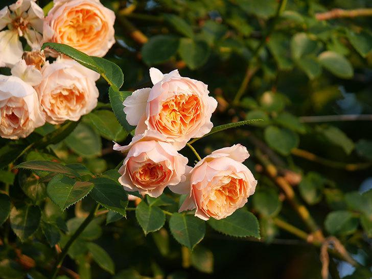 ジンジャー・シラバブ(Ginger Syllabub)の花が房で咲いた。ツルバラ。2020年-017.jpg