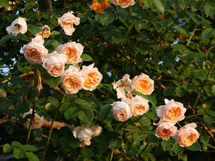 ジンジャー・シラバブ(Ginger Syllabub)の花が房で咲いた。ツルバラ。2020年-018.jpg