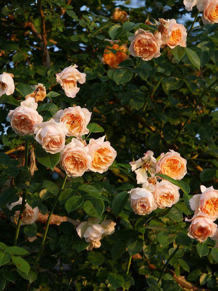 ジンジャー・シラバブ(Ginger Syllabub)の花が房で咲いた。ツルバラ。2020年-019.jpg