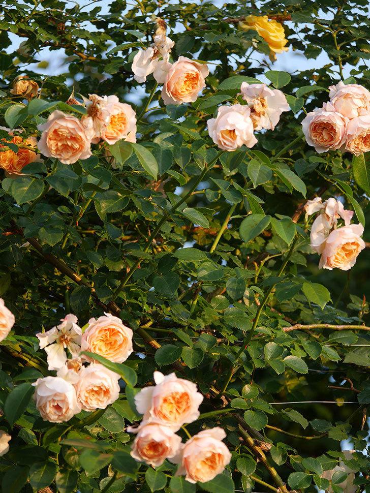 ジンジャー・シラバブ(Ginger Syllabub)の花が房で咲いた。ツルバラ。2020年-020.jpg
