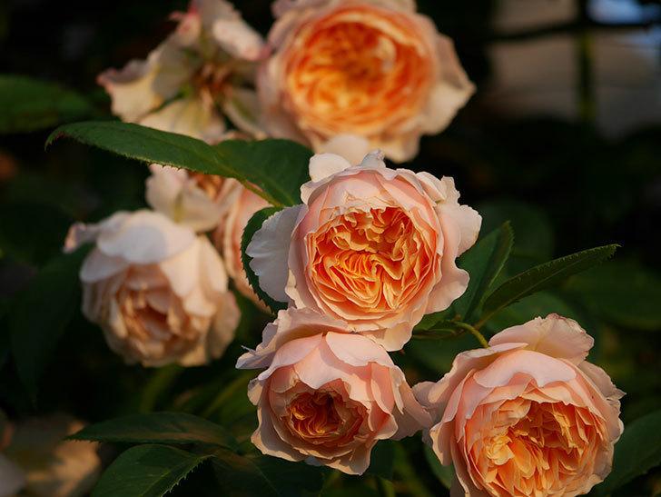 ジンジャー・シラバブ(Ginger Syllabub)の花が房で咲いた。ツルバラ。2020年-021.jpg