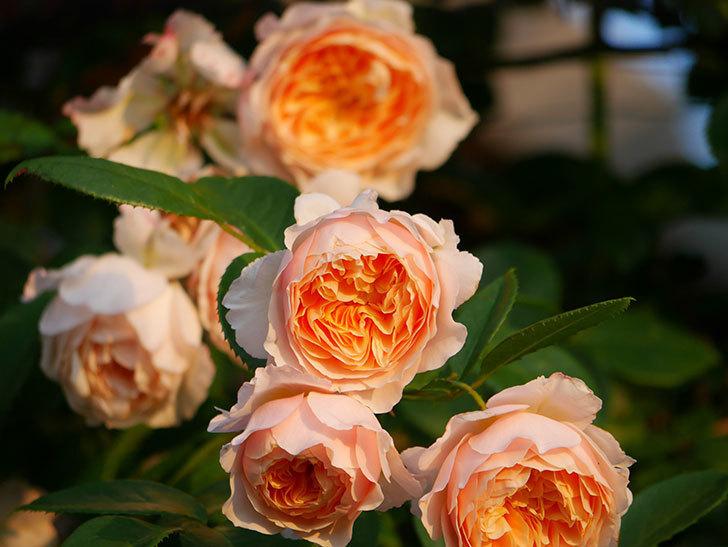 ジンジャー・シラバブ(Ginger Syllabub)の花が房で咲いた。ツルバラ。2020年-022.jpg