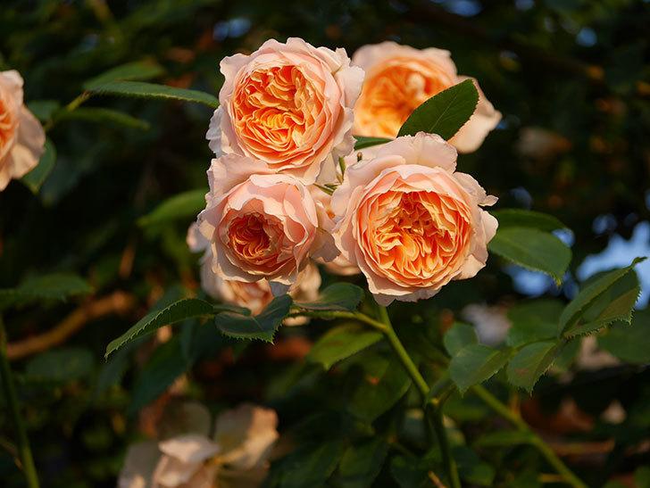 ジンジャー・シラバブ(Ginger Syllabub)の花が房で咲いた。ツルバラ。2020年-024.jpg