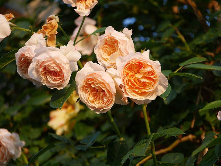 ジンジャー・シラバブ(Ginger Syllabub)の花が房で咲いた。ツルバラ。2020年-025.jpg