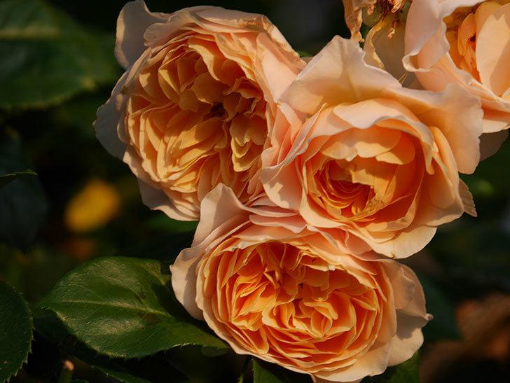 ジンジャー・シラバブ(Ginger Syllabub)の花が房で咲いた。ツルバラ。2020年-026.jpg