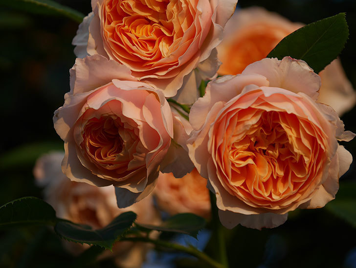 ジンジャー・シラバブ(Ginger Syllabub)の花が房で咲いた。ツルバラ。2020年-027.jpg