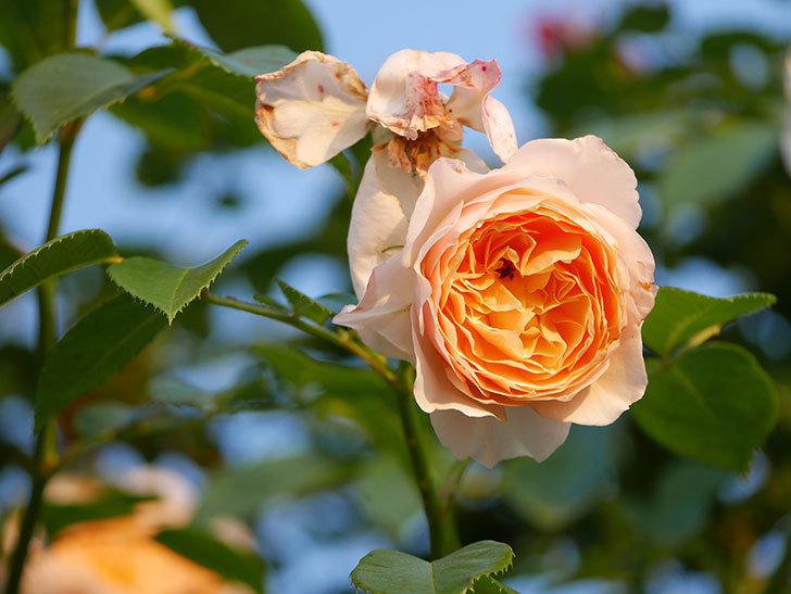 ジンジャー・シラバブ(Ginger Syllabub)の花が房で咲いた。ツルバラ。2020年-028.jpg