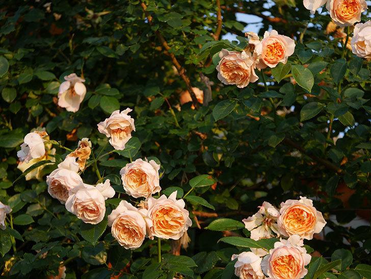 ジンジャー・シラバブ(Ginger Syllabub)の花が房で咲いた。ツルバラ。2020年-029.jpg