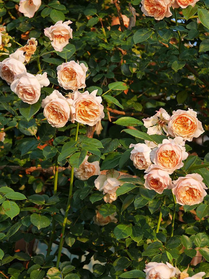 ジンジャー・シラバブ(Ginger Syllabub)の花が房で咲いた。ツルバラ。2020年-030.jpg