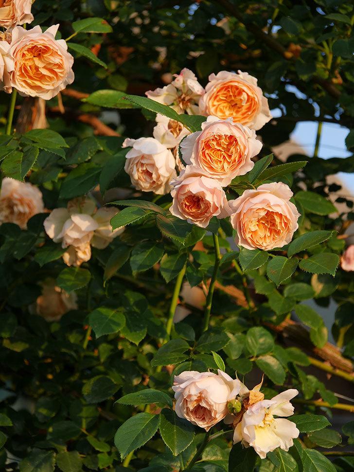 ジンジャー・シラバブ(Ginger Syllabub)の花が房で咲いた。ツルバラ。2020年-031.jpg