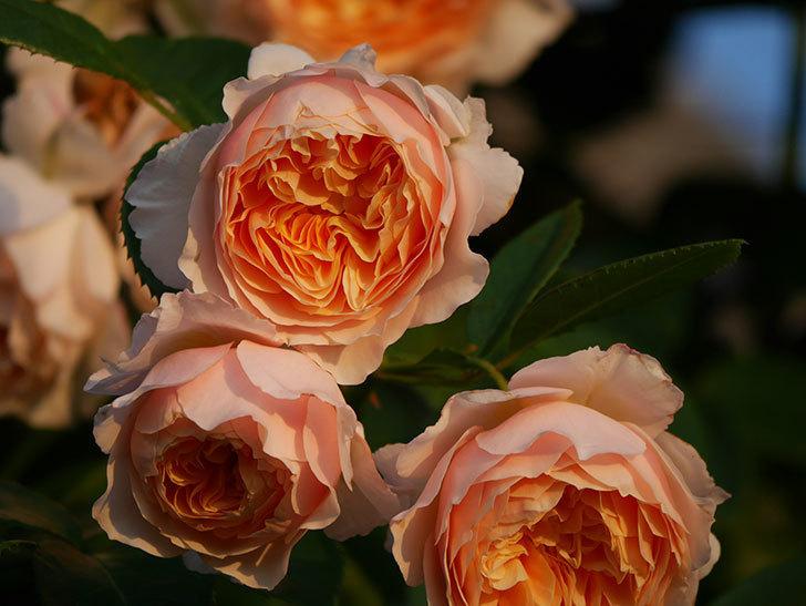 ジンジャー・シラバブ(Ginger Syllabub)の花が房で咲いた。ツルバラ。2020年-032.jpg