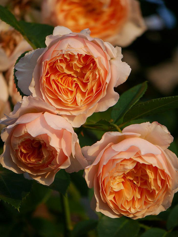 ジンジャー・シラバブ(Ginger Syllabub)の花が房で咲いた。ツルバラ。2020年-033.jpg