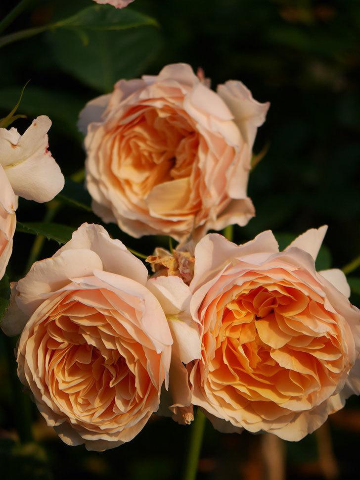 ジンジャー・シラバブ(Ginger Syllabub)の花が房で咲いた。ツルバラ。2020年-034.jpg