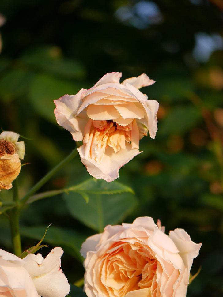 ジンジャー・シラバブ(Ginger Syllabub)の花が房で咲いた。ツルバラ。2020年-035.jpg