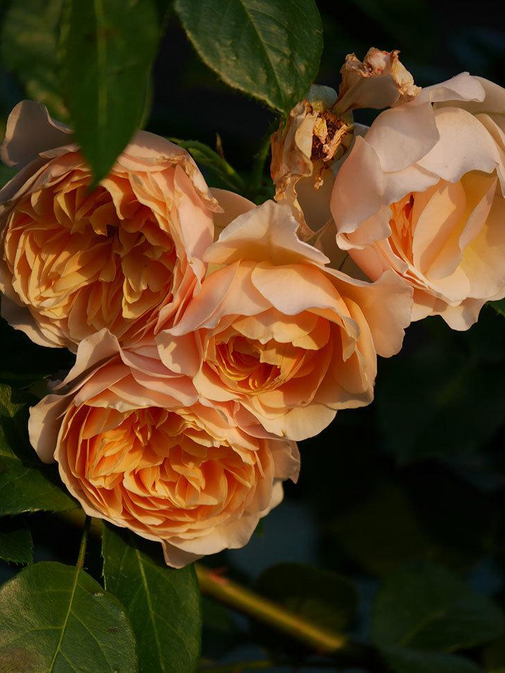 ジンジャー・シラバブ(Ginger Syllabub)の花が房で咲いた。ツルバラ。2020年-036.jpg