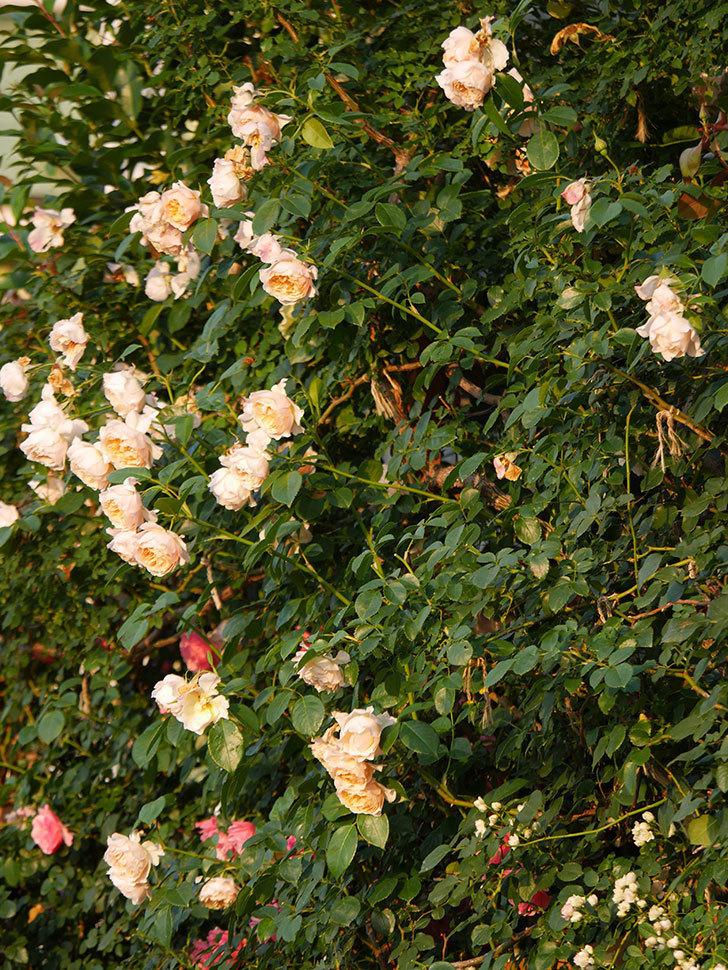 ジンジャー・シラバブ(Ginger Syllabub)の花が房で咲いた。ツルバラ。2020年-037.jpg