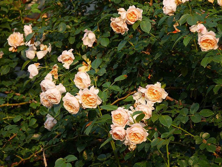 ジンジャー・シラバブ(Ginger Syllabub)の花が房で咲いた。ツルバラ。2020年-038.jpg