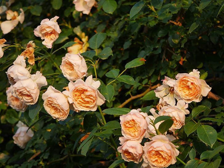 ジンジャー・シラバブ(Ginger Syllabub)の花が房で咲いた。ツルバラ。2020年-039.jpg