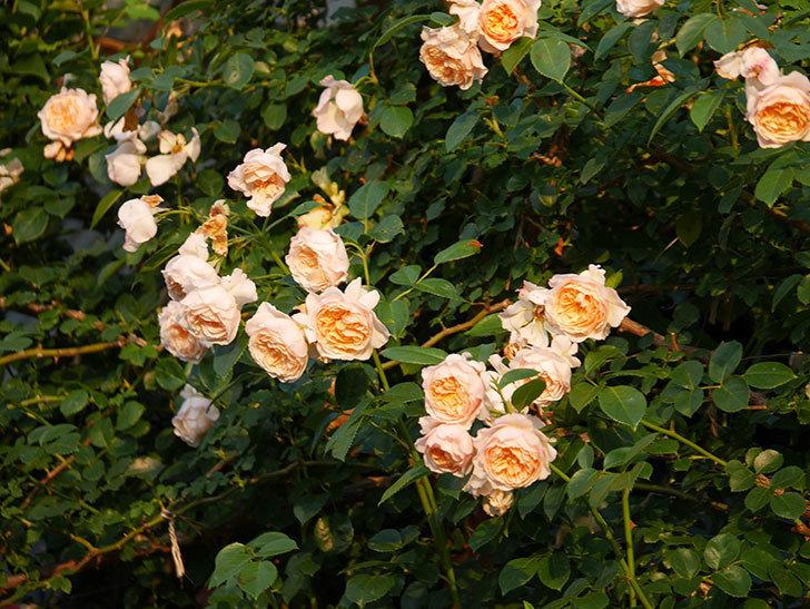 ジンジャー・シラバブ(Ginger Syllabub)の花が房で咲いた。ツルバラ。2020年-040.jpg
