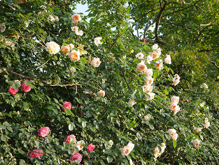 ジンジャー・シラバブ(Ginger Syllabub)の花が房で咲いた。ツルバラ。2020年-042.jpg