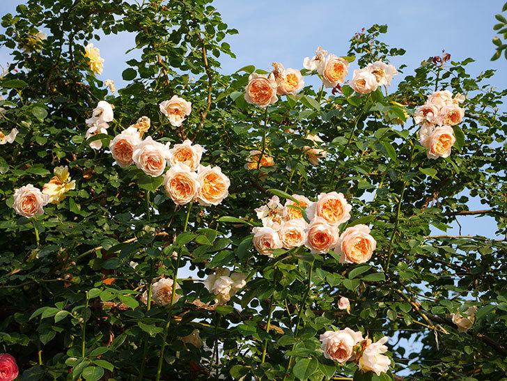 ジンジャー・シラバブ(Ginger Syllabub)の花が房で咲いた。ツルバラ。2020年-043.jpg