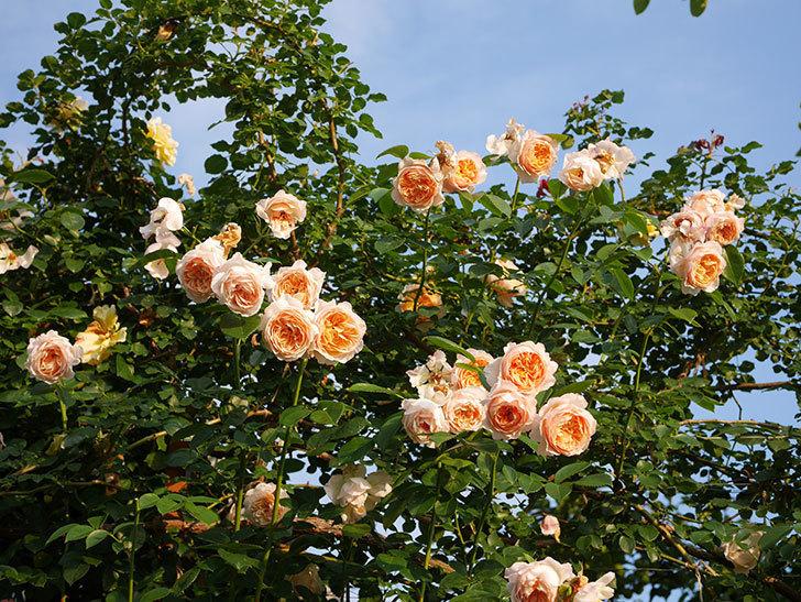 ジンジャー・シラバブ(Ginger Syllabub)の花が房で咲いた。ツルバラ。2020年-044.jpg