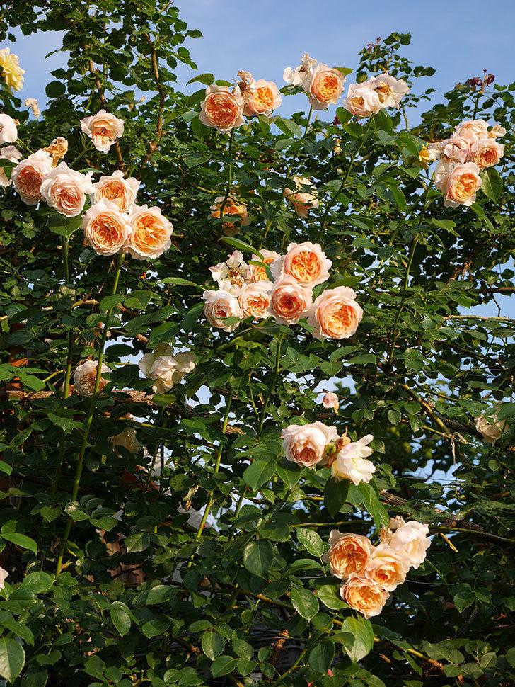 ジンジャー・シラバブ(Ginger Syllabub)の花が房で咲いた。ツルバラ。2020年-045.jpg