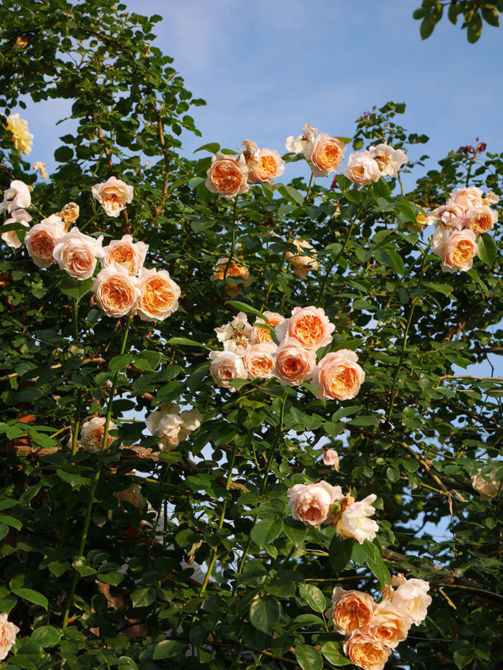ジンジャー・シラバブ(Ginger Syllabub)の花が房で咲いた。ツルバラ。2020年-046.jpg