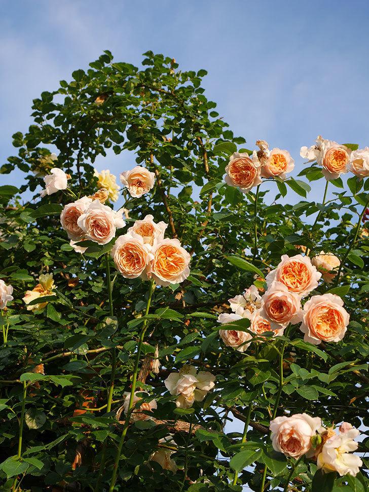 ジンジャー・シラバブ(Ginger Syllabub)の花が房で咲いた。ツルバラ。2020年-047.jpg