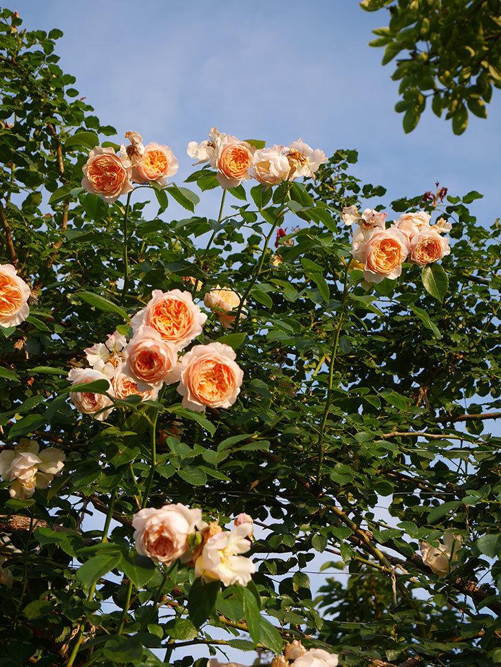 ジンジャー・シラバブ(Ginger Syllabub)の花が房で咲いた。ツルバラ。2020年-048.jpg
