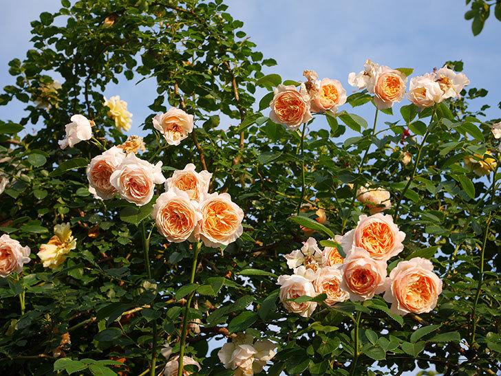 ジンジャー・シラバブ(Ginger Syllabub)の花が房で咲いた。ツルバラ。2020年-049.jpg