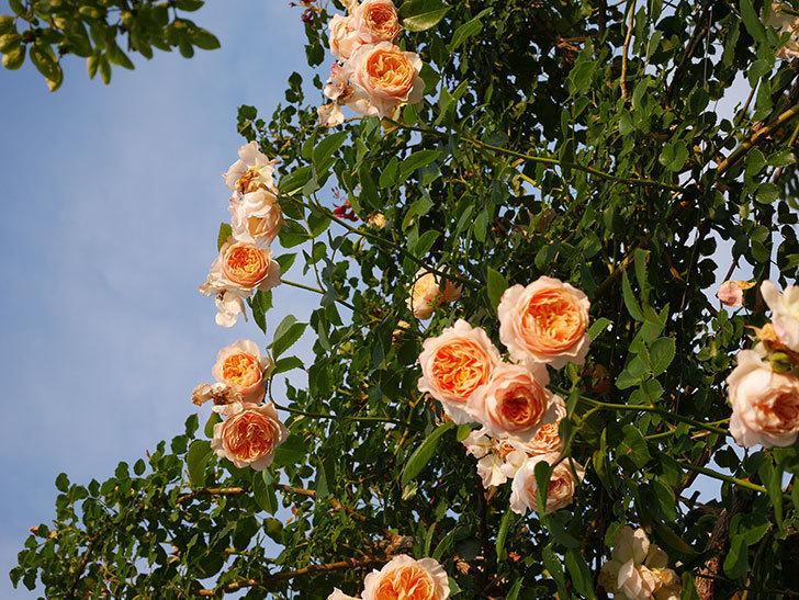 ジンジャー・シラバブ(Ginger Syllabub)の花が房で咲いた。ツルバラ。2020年-051.jpg