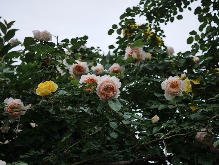 ジンジャー・シラバブ(Ginger Syllabub)の花が満開になった。ツルバラ。2020年-001.jpg