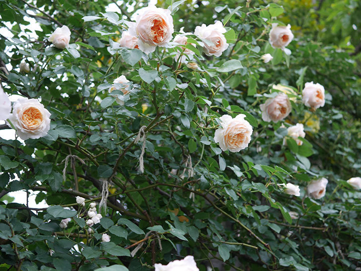 ジンジャー・シラバブ(Ginger Syllabub)の花が満開になった。ツルバラ。2020年-002.jpg