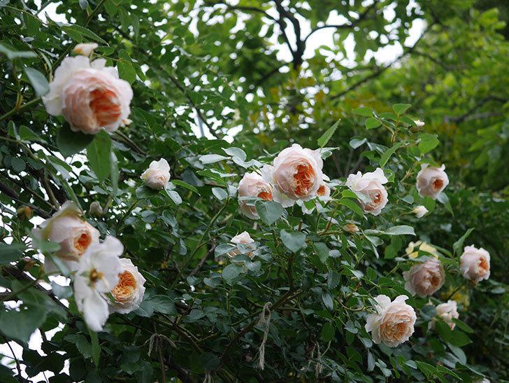 ジンジャー・シラバブ(Ginger Syllabub)の花が満開になった。ツルバラ。2020年-003.jpg