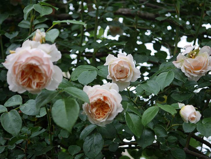 ジンジャー・シラバブ(Ginger Syllabub)の花が満開になった。ツルバラ。2020年-004.jpg