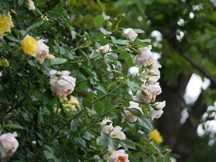 ジンジャー・シラバブ(Ginger Syllabub)の花が満開になった。ツルバラ。2020年-005.jpg