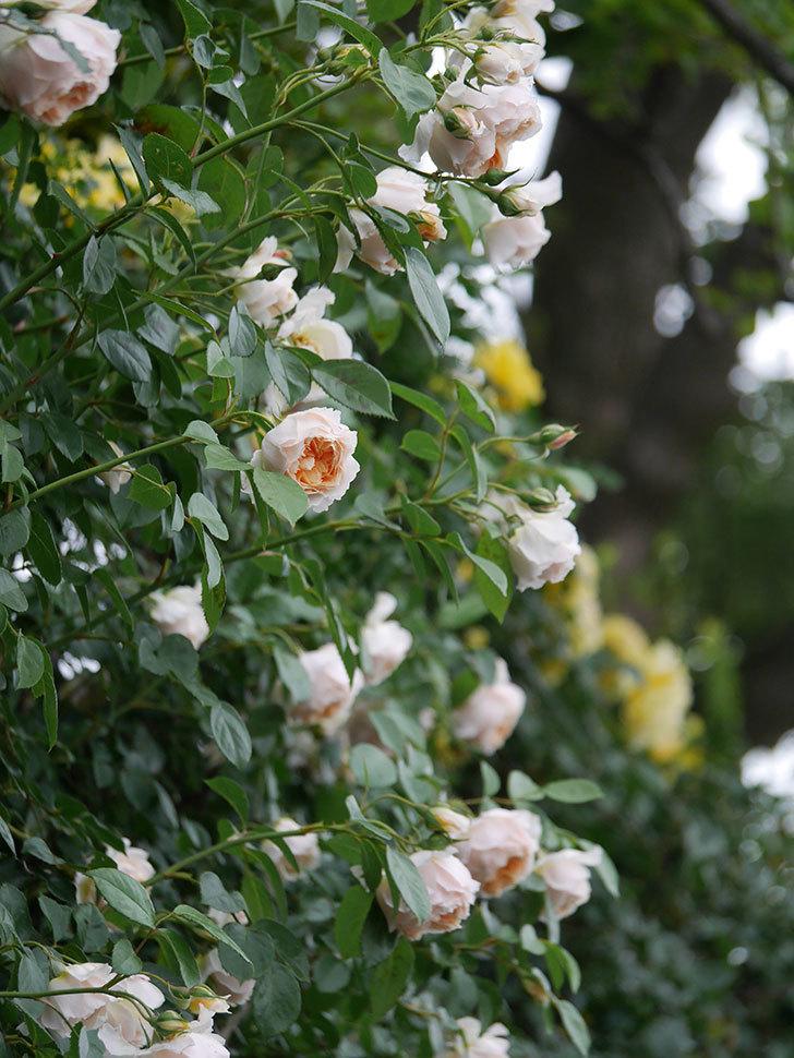 ジンジャー・シラバブ(Ginger Syllabub)の花が満開になった。ツルバラ。2020年-006.jpg
