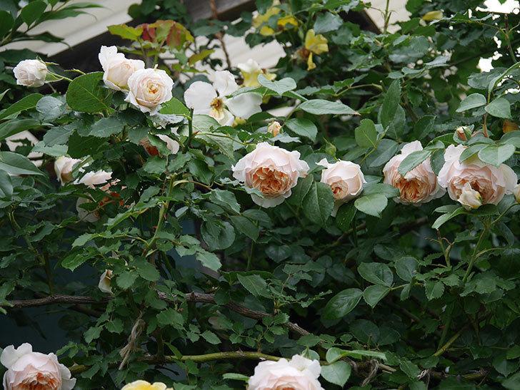 ジンジャー・シラバブ(Ginger Syllabub)の花が満開になった。ツルバラ。2020年-007.jpg