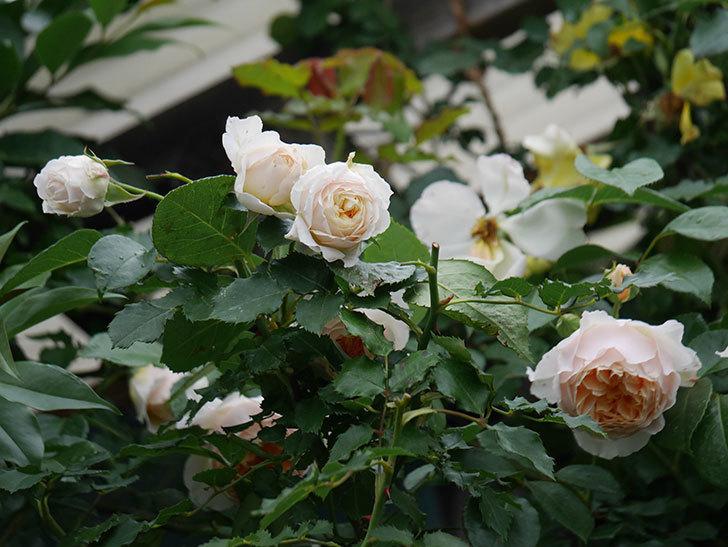 ジンジャー・シラバブ(Ginger Syllabub)の花が満開になった。ツルバラ。2020年-008.jpg