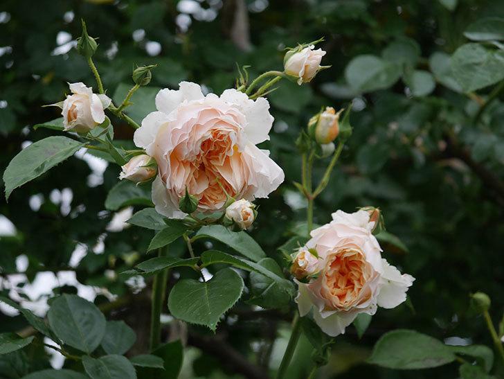 ジンジャー・シラバブ(Ginger Syllabub)の花が満開になった。ツルバラ。2020年-009.jpg
